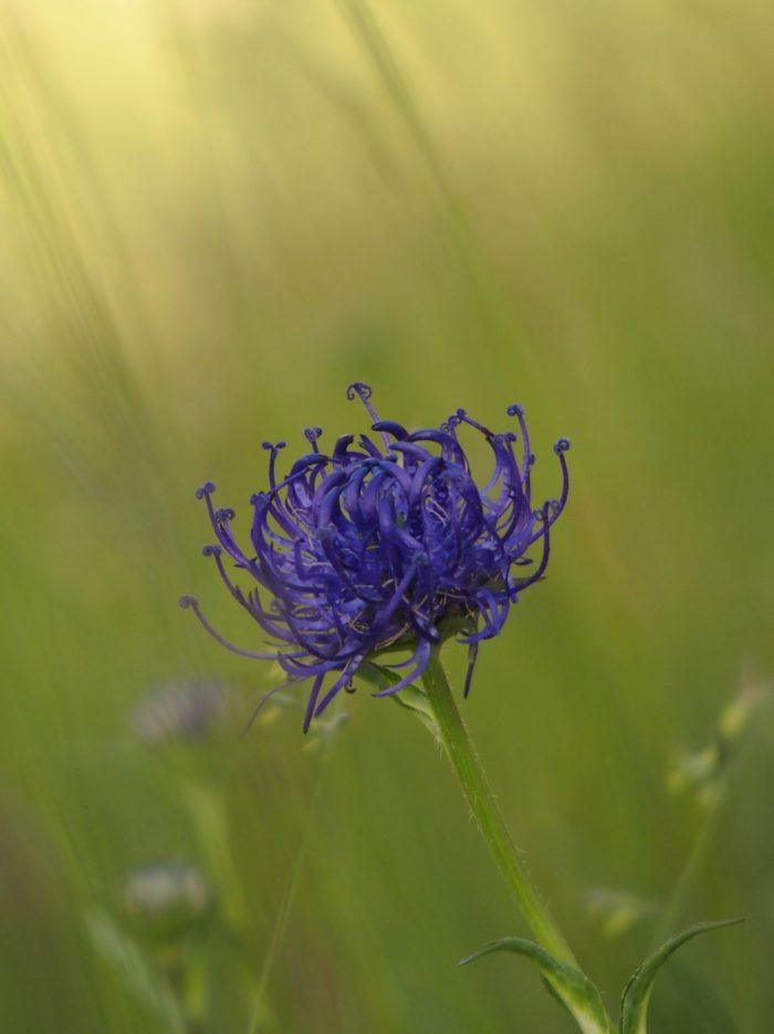 Fleurs au Tuc de Vielha