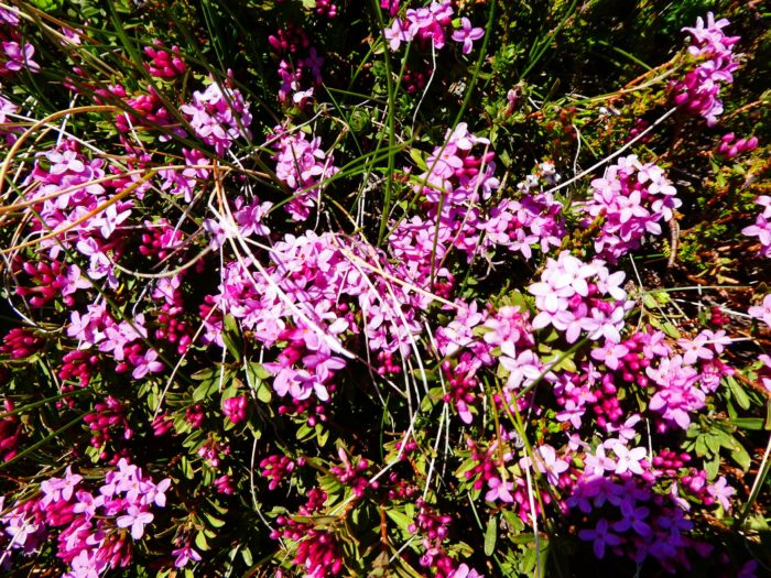 Fleurs de montagne dans les PO