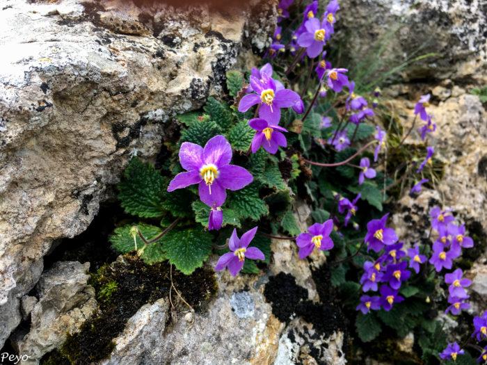 Quelques fleurs du Haut-Aragon