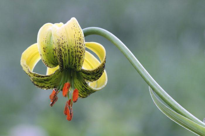 Fleurs du printemps pyrénéen