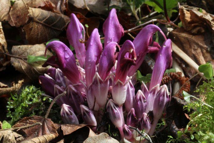 Fleurs au Casque de Lhéris